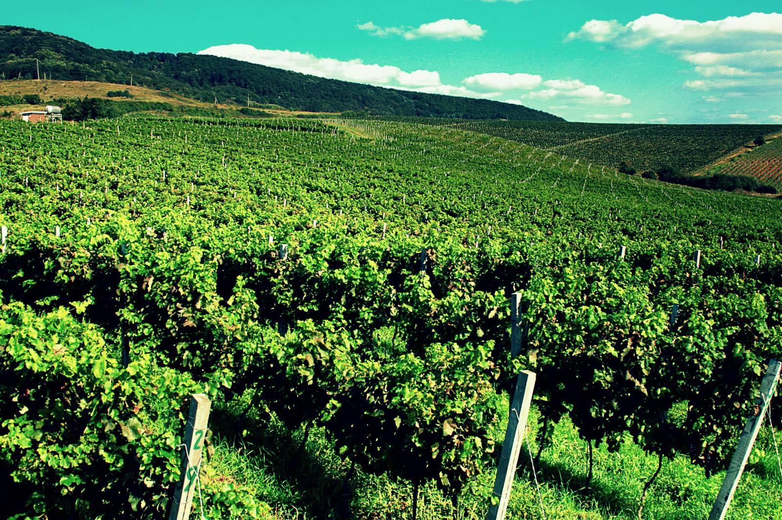 Вина Грузии, виноградники Грузии