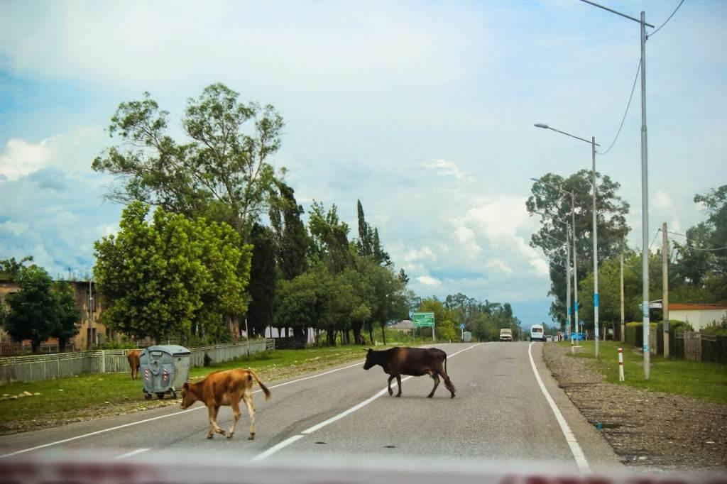Коров принято спокойно объезжать, не принято на них сигналить