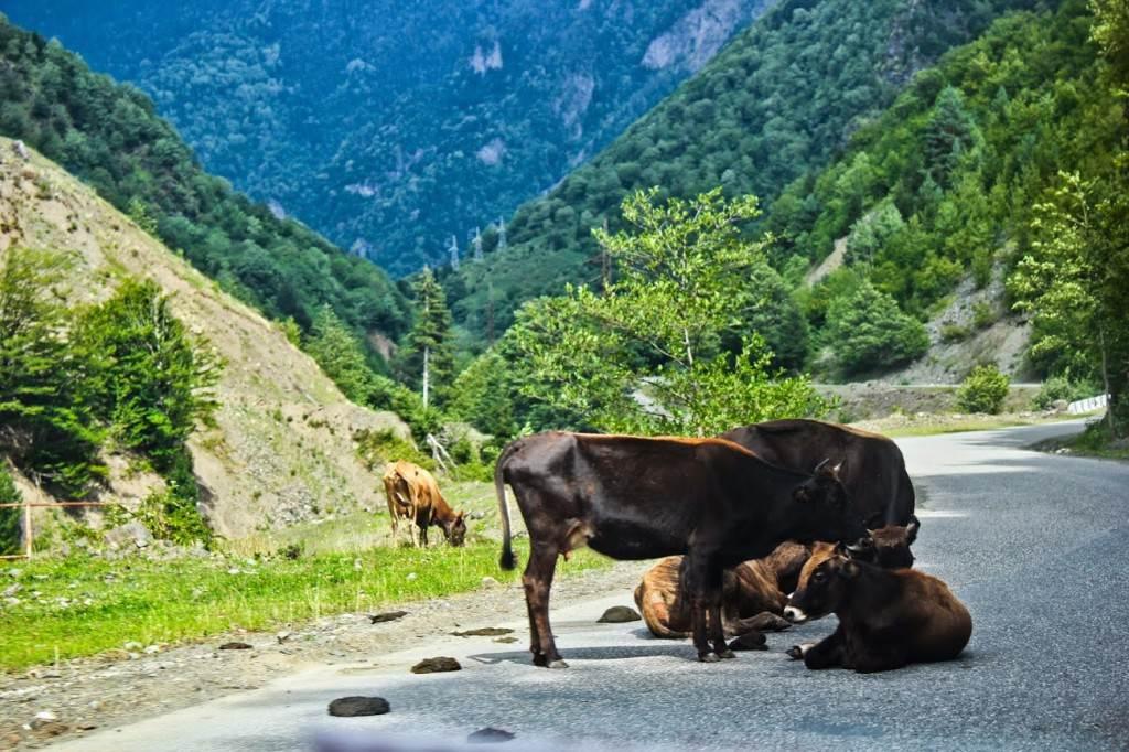 Коровы на дороге - обычное дело