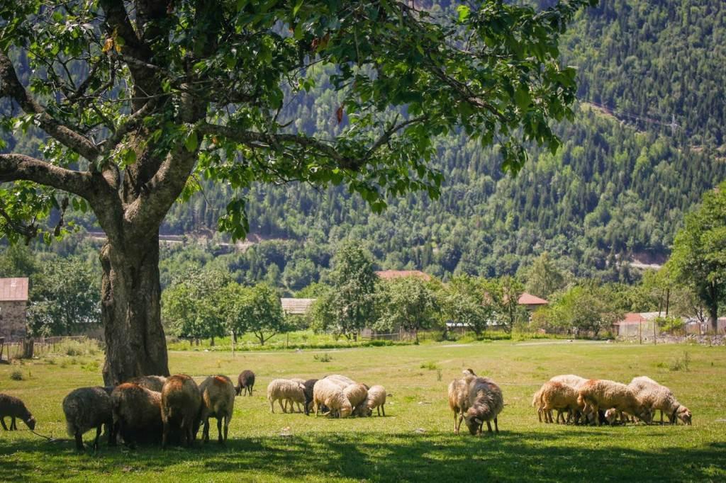Отара овец в Грузинской деревушке