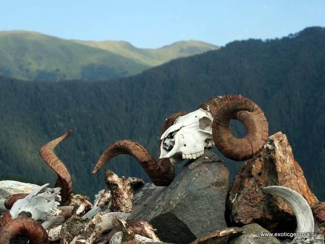 Бараньи головы, сложенные на священном камне в тушинском селе Шенако